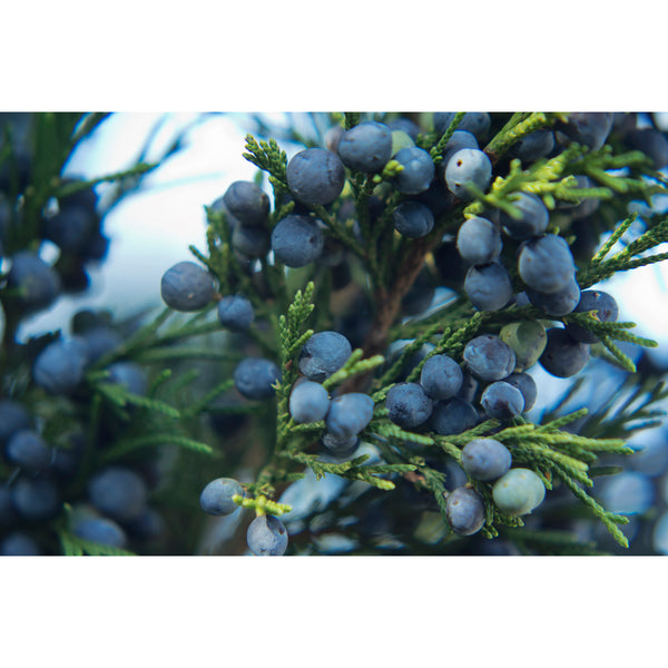 Juniper Berries One