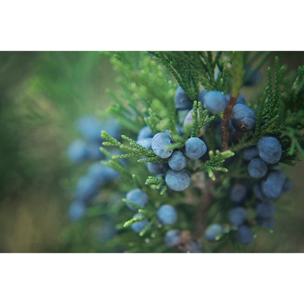 Juniper Berries Two