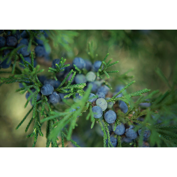 Juniper Berries Three