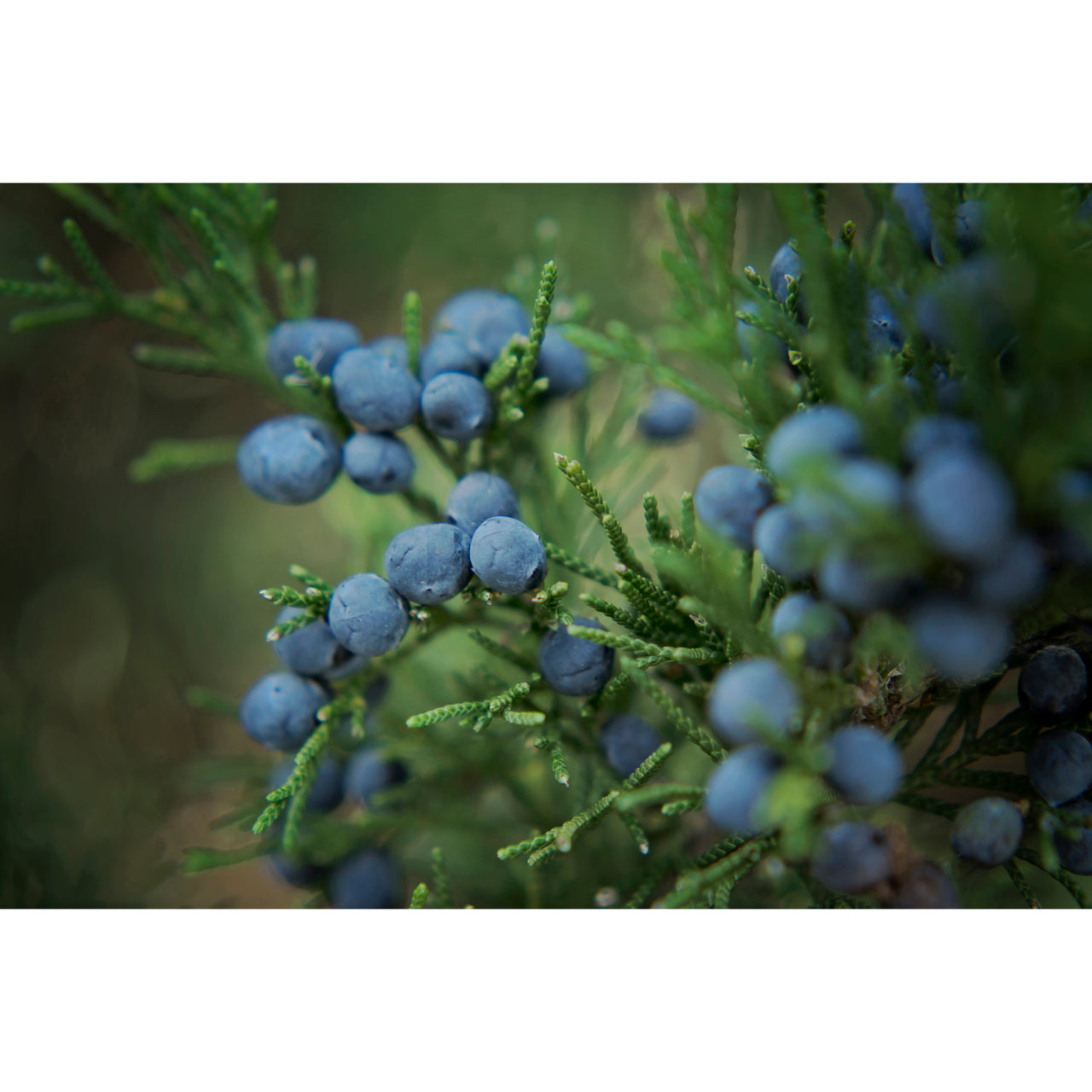 Juniper Berries Four