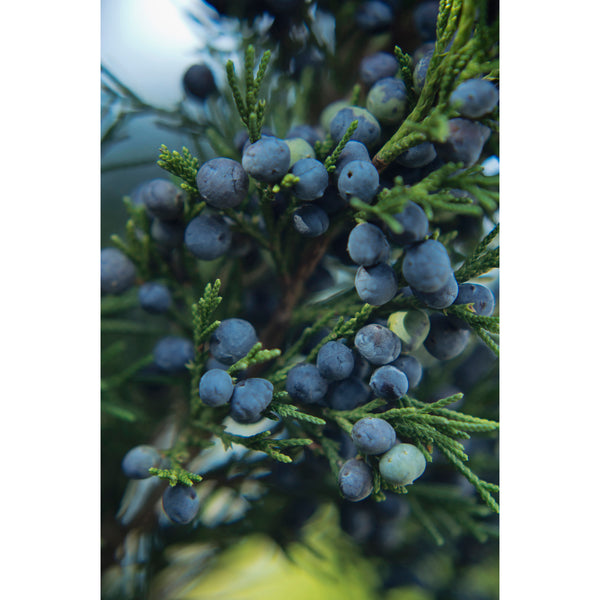 Juniper Berries Six