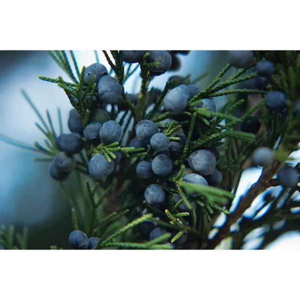 Juniper Berries Seven