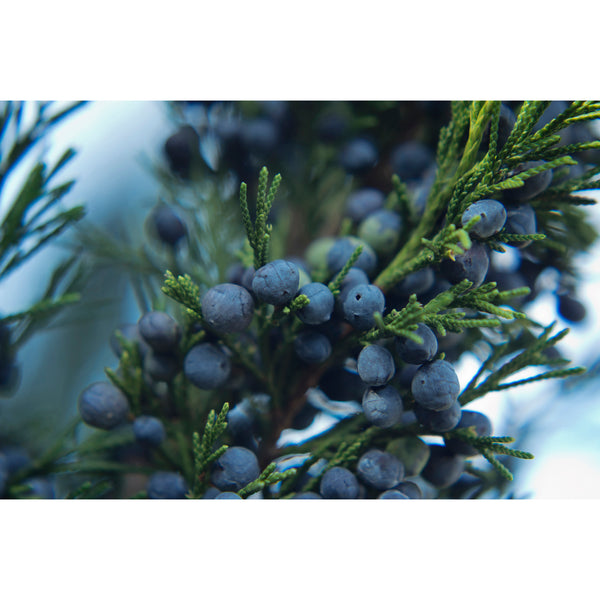 Juniper Berries Eight