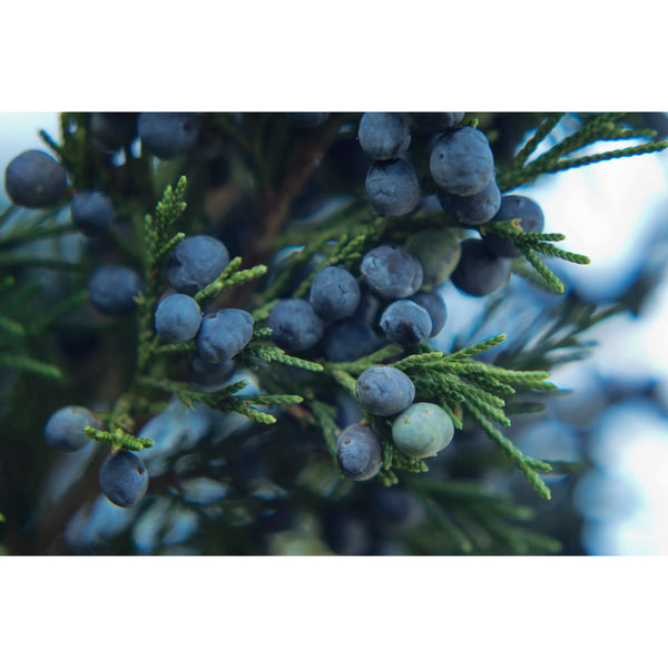 Juniper Berries Nine