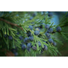 Juniper Berries Ten