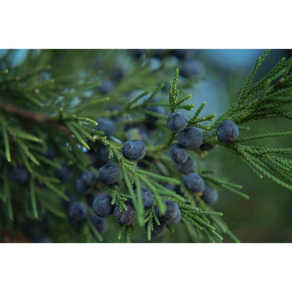 Juniper Berries Eleven