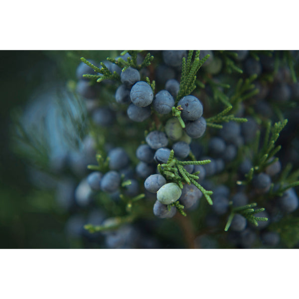 Juniper Berries Twelve