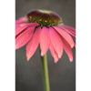Coneflower Three