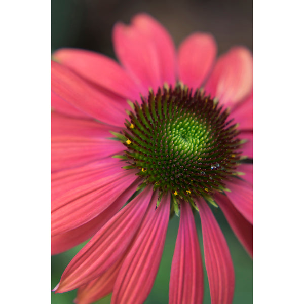 Coneflower Five