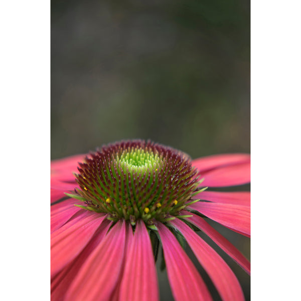 Coneflower Six