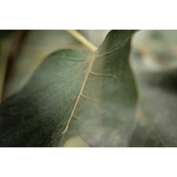 Sacred Fig Leaf