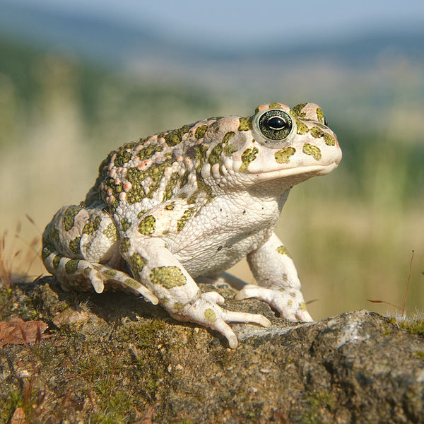 Italian green toads in flooded olive grove