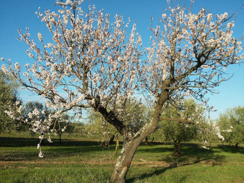 Almond-trees-in-bloom-at-Selvanuova-organic-farm-farming-for-nature-and-wildlife