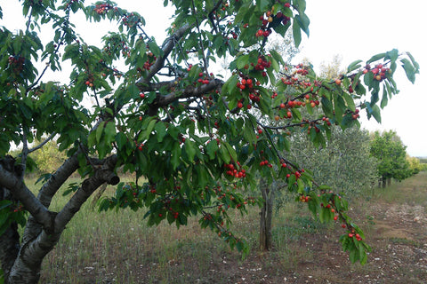 Fuciletta cherries, early cherries