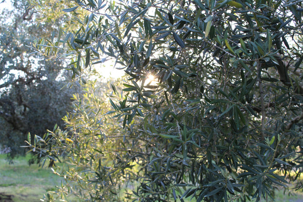 Organically managed olive grove for the production of nature-friendly extravirgin olive oil