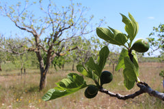 Figs growing