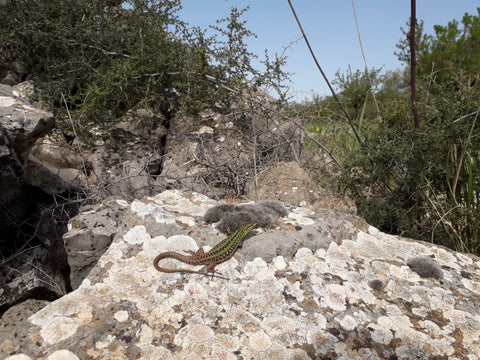 Italian wall lizard living on dry-stone features in our organic olive groves