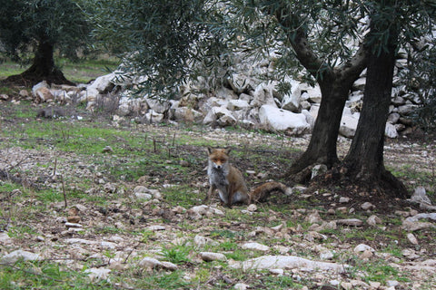Red fox (Vulpes vulpes) in organic olive orchard at Selvanuova