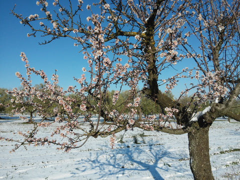 Almond tree in bloom with snow