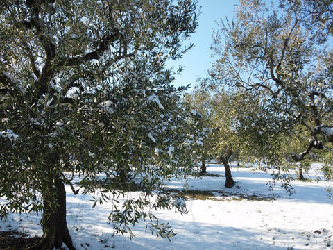 Olive grove with snow