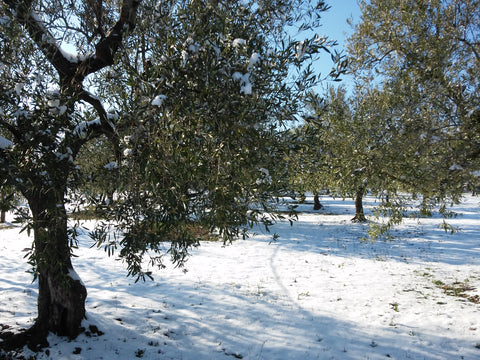 Organic olive orchard with snow