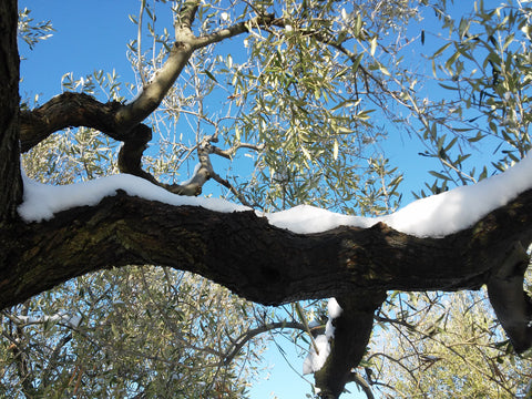 Organic olive tree with snow