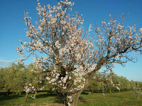 Almond-tree-in-bloom-at-Selvanuova-organic-farm-farming-for-nature-and-wildlife