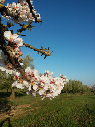 Almond-tree-flowers-at-Selvanuova-organic-farm-farming-for-nature-and-wildlife
