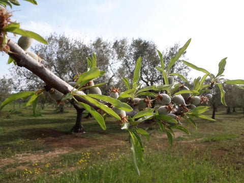 Small organic almonds growing in springtime among olive trees