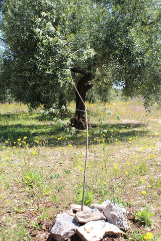 planting-young-European-nettle-tree-celtis-australis-to-increase-biodiversity-in-organic-farm
