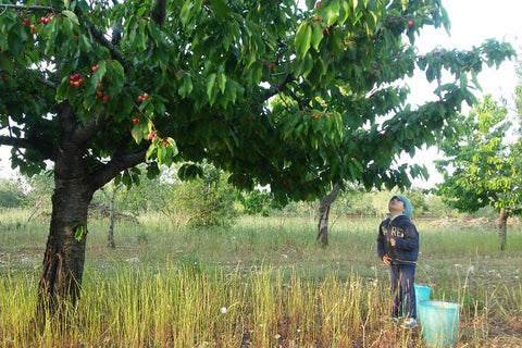 cherry-tree-with-child-and-wild-plants-in-organic-and-agroecological-farm