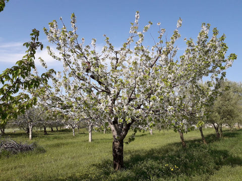 Cherry tree flowering and providing nectar and pollen resources for beneficial insects