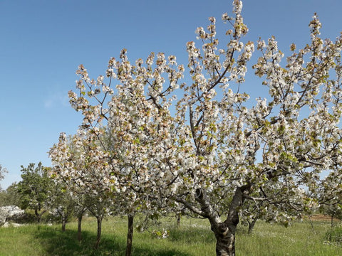 Beautiful blooming cherry trees in our wildlife-rich farm