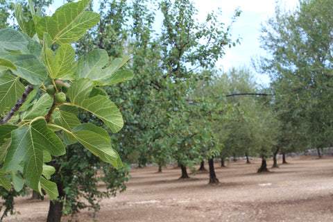 Fig, plum and olive trees still alive despite the severe drought