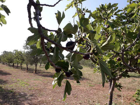 organic-farm-with-fig-tree