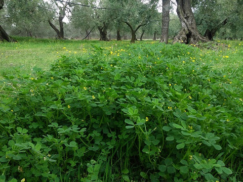 medicago-polymorpha-green-cover-in-organic-olive-grove-in-italy