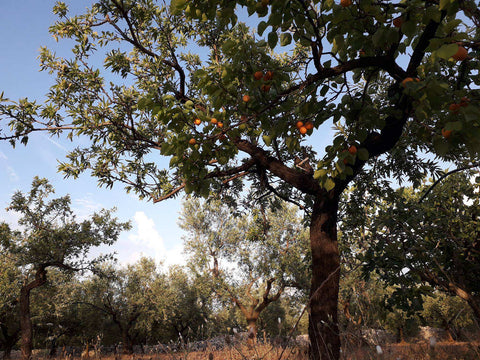 apricot-and-almond-tree-in-organic-farm