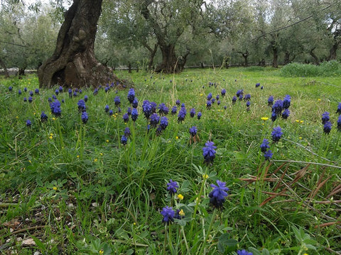 muscari-neglectum-a-biodiversity-component-in-organic-olive-groves-at-Selvanuova