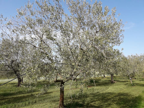 Olive trees have been hit by a late winter frost, so they still look dormient
