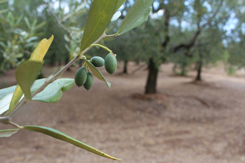 Olives growing despite drought