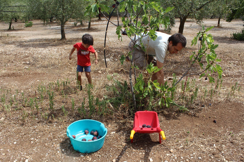 picking-figs-and-removing-weeds
