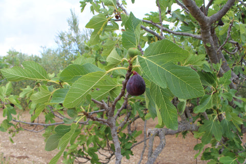 Ripe black fig