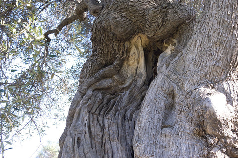 sacred ancient olive tree