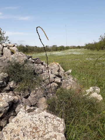 Wild asparagus is an example of wild edible plants growing in Salvanuova's olive orchards
