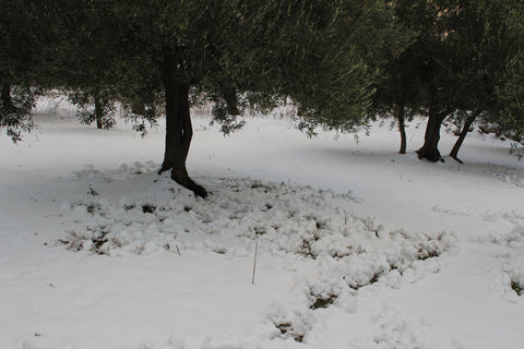 Wild boar snowtracks in organic olive grove at Selvanuova