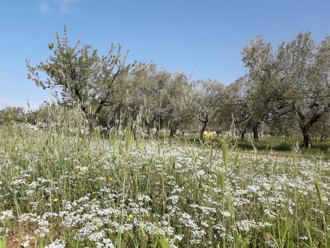Wild plants flowering in our organically managed olive grove