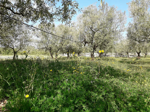 Wild plant biodiversity at Selvanuova's olive groves contributes to creating an excellent extravirgin olive oil
