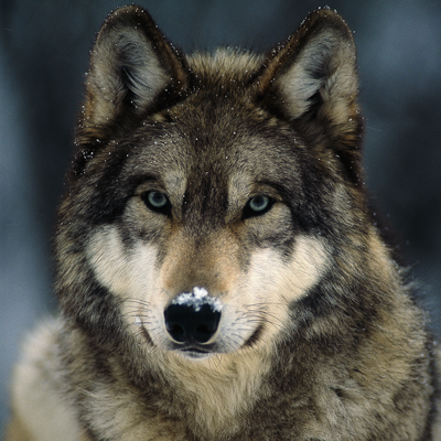 Symbolic Meaning Of The Wolf Wildlife Tribe