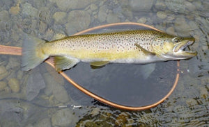 Large brown trout laying in a net held in the water.