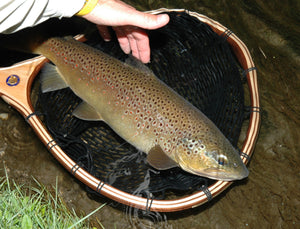 Large brown trout laying in a landing net with a black net bag.